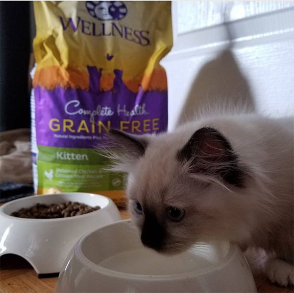 kitten eating Wellness Pet Food