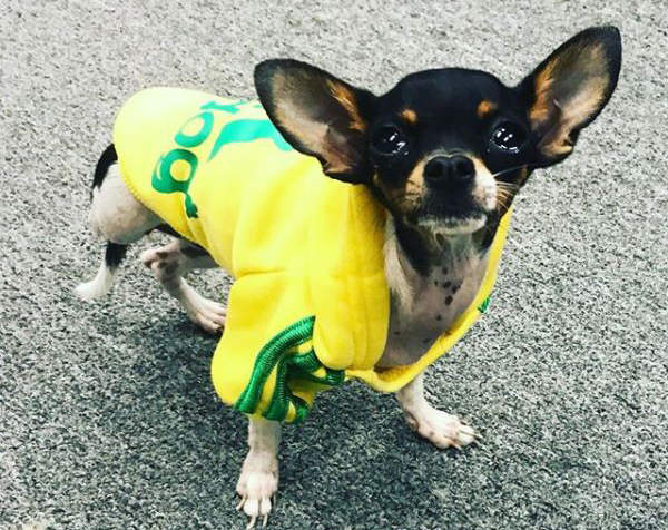 Frida the Chihuahua dressed up