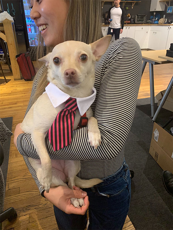 Contently chihuahua in office
