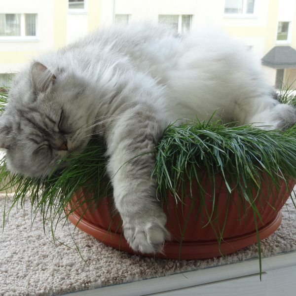 long haired gray cat sleeping in plant