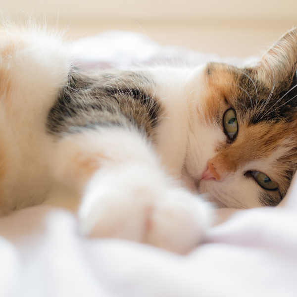 comfortable calico cat