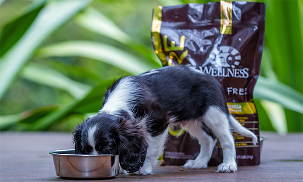 puppy eating Wellness CORE Puppy Food