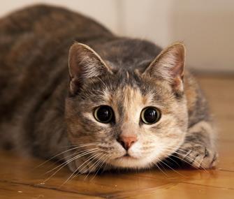 Cat pouncing