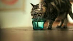 cat drinking from water glass