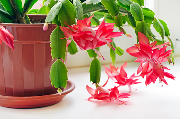 christmas cactus pet safe