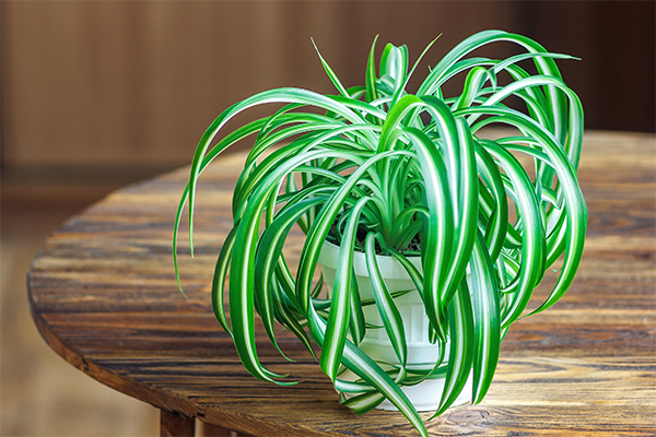 spider plant pet safe plants