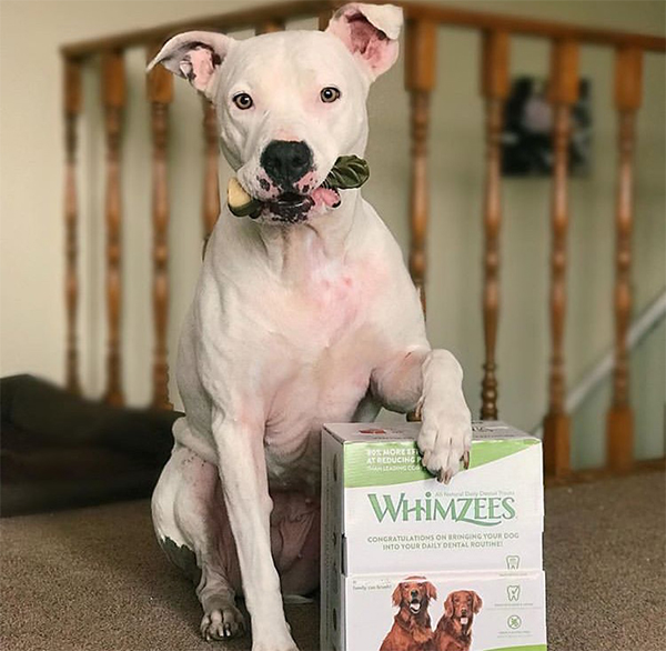 pit bull with WHIMZEES dental chews for dogs