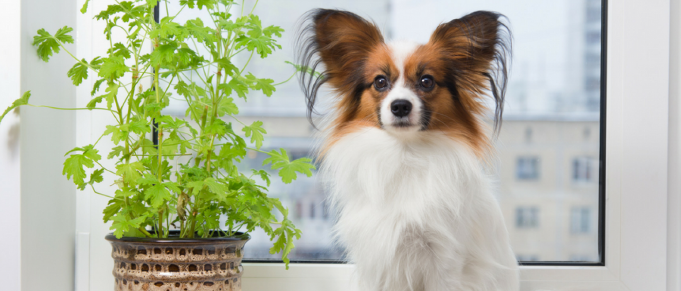 thumbnail - Are Christmas Cactus Poisonous To Dogs