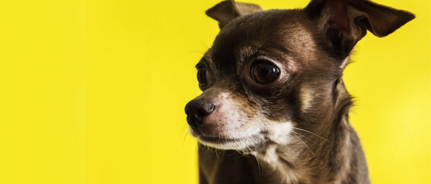 10 Reasons Why Chihuahuas Are Awesome