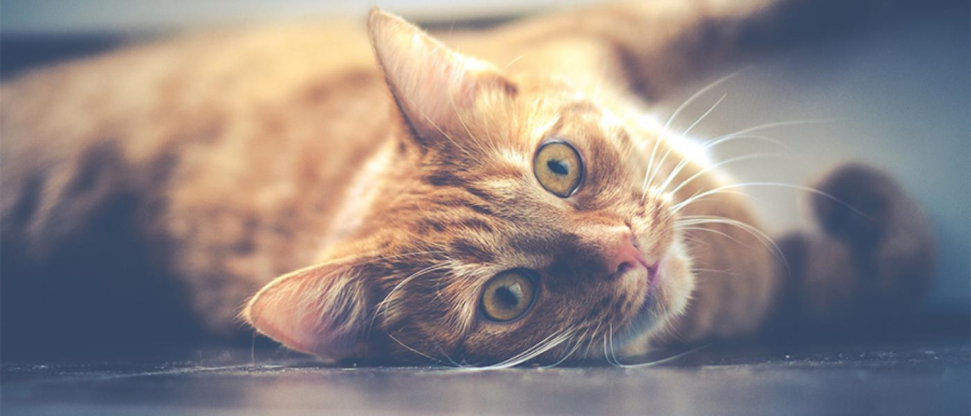 5 Reasons Why Ginger Cats Are So Special Wellness Pet Food